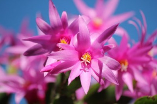 Image of a Christmas cactus for Vets Now article on dangers