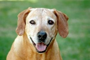 common health problems in older dogs - vets now