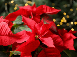 Image of a poinsettia for Vets Now article on are poinsettias poisonous to dogs and cats