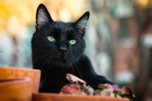 An image of a black cat for Vets Now article on cat choking