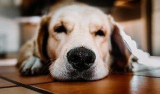 Image of a dog lying down for Vets Now article on older dog incontinence at night