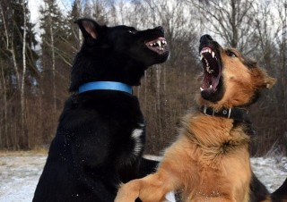 Image of a dog fighting for Vets Now article on my dog attacked another dog unprovoked