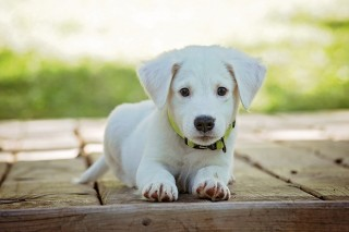 Image of a puppy for Vets Now article on fading puppy syndrome