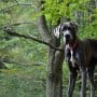 Image of a Great Dane for Vets Now article on how to avoid bloat in dogs and dog bloat treatment home