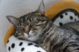 Image of a cat in pain for Vets Now article on how to tell if a cat is in pain