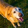 Image of old dog for Vets Now article on ataxia in dogs symptoms