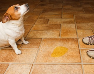Image of an old dog peeing inside for Vets Now article on female dog incontinence