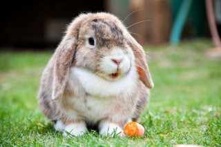 Image of rabbit for Vets Now article on gut stasis in rabbits