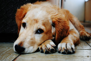 image of a sad dog for vets now article on dog constipation