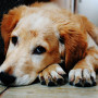 image of a golden retriever for Vets Now article on electrocuted dogs