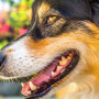 image of a dog for vets now article on teeth problems in dogs