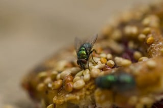 Image of a green bottle fly for article on flystrike in rabbits