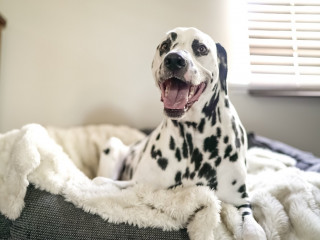 image of a dalmatian for vets now article on dog health checks