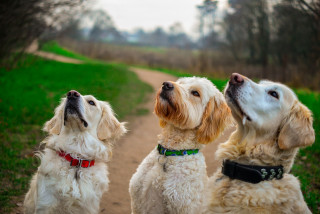 Image of three dogs looking up for Vets Now article on dog diabetes