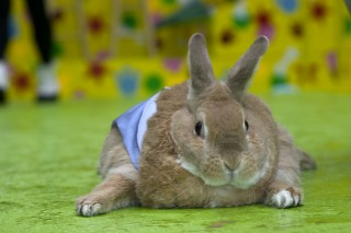 Image of obese rabbit for Vets Now article on fly strike rabbits