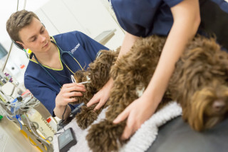 Image of a dog at Vets Now Glasgow being treated for juvenile cellulitis