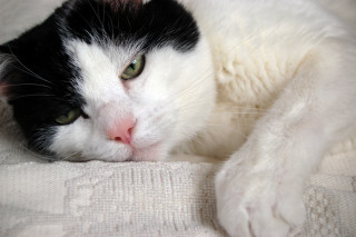 Image of an older cat for Vets Now article on cat constipation and kitten constipation