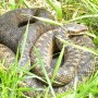 Image of adder for Vets Now article on snake bites on dogs