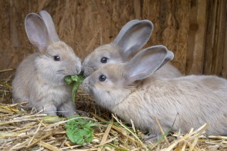 Image of rabbits eating for article on rabbits not eating and rabbit gut stasis