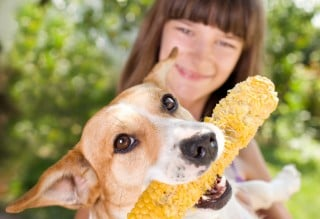 Image for Vets Now article on can dogs eat corn on the cobs