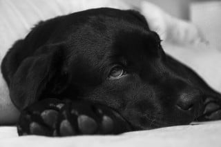 This is an image of a sick dog for a Vets Now article on what to do if your dog vomiting or dog vomiting bile