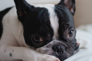 Image of French bulldog for Vets Now article on brachycephalic dog breeds
