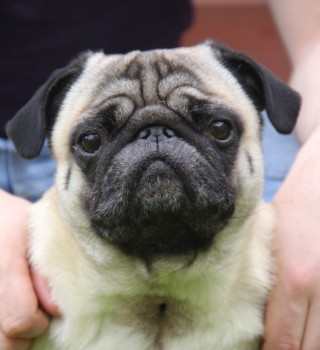 Image of pub for Vets Now article on brachycephalic dog breeds