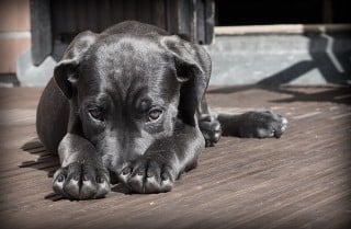 Image of dog in pain for Vets Now article on pain in dogs