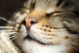 Image showing cat purring for Vets Now article on cats being sick