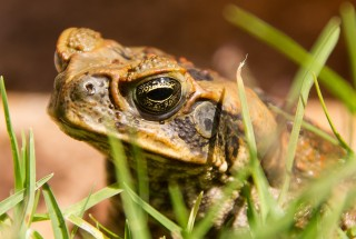 Image of a toad for Vets Now article on are toads poisonous to dogs uk