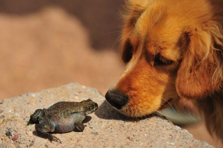 A poisonous toad can cause extreme salivation and vomiting in dogs