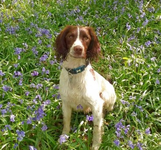 Image of spaniel Buddy for Vets Now article on are toads poisonous to dogs uk