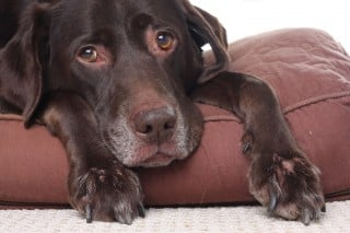 Can I Give My Dog Paracetamol >> What Can I Give My Dog For Pain Medication Vets Now