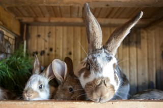 An image of three rabbits in a hutch for Vets Now article on myxomatosis symptoms in rabbit