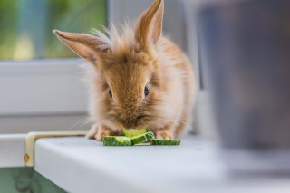 An image of a rabbit eating cucumber slices in the sunshine for Vets Now article on myxomatosis symptoms