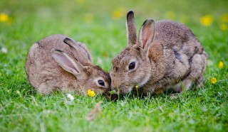 An image of two rabbits playing outside on grass for Vets Now article on myxomatosis symptoms
