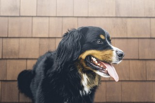 An image of a dog panting and restless for Vets Now article on my dog won't stop panting