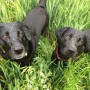 Image of grass seeds dogs for Vets Now article on grass seed wounds in dogs