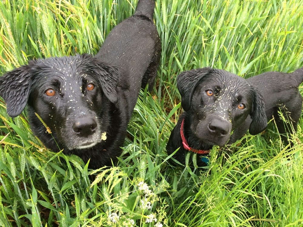 Grass Seed In Dog What To Do About Grass Seed Wounds Vets Now