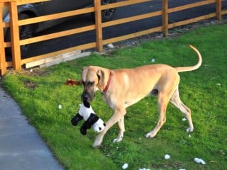 An image of Merlin the Great Dane saved by Vets Now playing in his garden with a toy panda. Image for Vets Now article on Great Dane saved by blood recycling