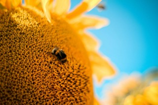 Image of a bumble bee on a sunflower for Vets Now article on bee stings on dogs and dog wasp sting