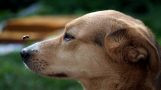 Image of a dog following a bee for Vets Now article on dog wasp sting in mouth
