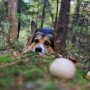 Image of a dog staring at a mushroom for Vets Now article on dogs and mushrooms and can dogs eat mushrooms