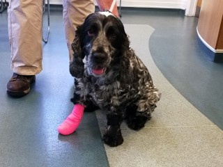 An image of Mable the Spaniel at the Vets Now clinic with a pink bandage on her right paw. Image for Vets Now article on grass seed danger to dogs