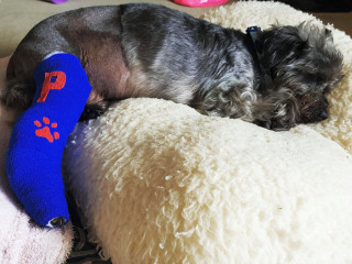 Image of Paddy the dog involved in a RTA for Vets Now article on running over a dog uk law