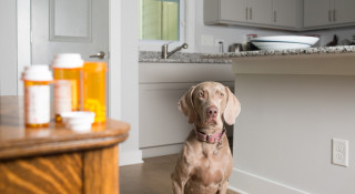 Image of a dog staring at pills for Vets Now article on symptoms of poisoning in dogs