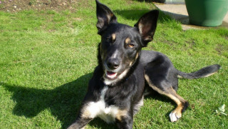 Image of Zeb the dog for Vets Now article on vets saving dog who swallowed toy