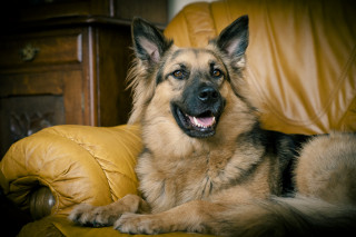 Image of Sheera the German shepherd for Vets Now blog post on a dog surviving being trapped in a swimming pool