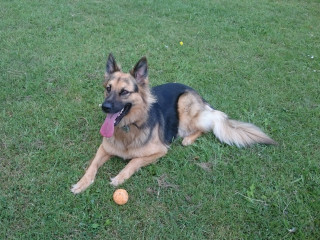 Image of Sheera the German shepherd for Vets Now blog post on dog suffering hypothermia after falling into a swimming pool