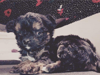 Image of Chewbaccy the yorkie-cross puppy for Vets Now article